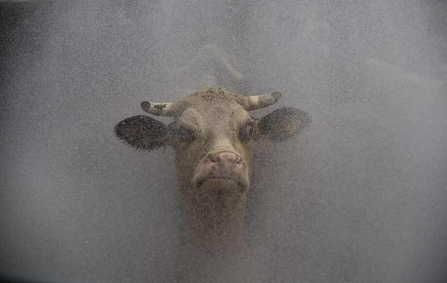 Last bath: A shower douses a cow before she enters the slaughterhouse of the Frigorifico San Jacinto, a major meat processing plant in San Jacinto, Uruguay. Photo: Pablo Porciuncula, AFP/Getty Images