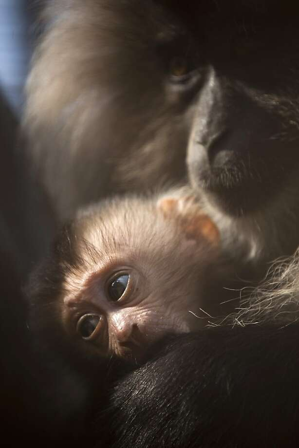 In this picture taken through a fence, a two-week-old lion-tailed macaque clings to his mother Yana, at the Ramat Gan safari near, Tel Aviv, Israel, Wednesday, Oct. 31, 2012. Three monkeys were born in the last 3 weeks at the safari. (AP Photo/Ariel Schalit) Photo: Ariel Schalit, Associated Press