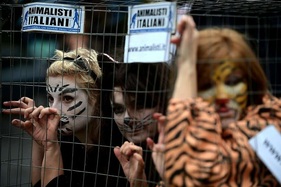 Members of the animals defence group 'Animalisti Italiani Onlus' stage a protest, showing the hunting of wild animals, in front of Rome's zoo after an antelope, a chimpanzee and an elephant recently died in the zoo on October 31, 2012 in Rome.      AFP PHOTO / FILIPPO MONTEFORTE/AFP/Getty Images Photo: Filippo Monteforte, AFP/Getty Images
