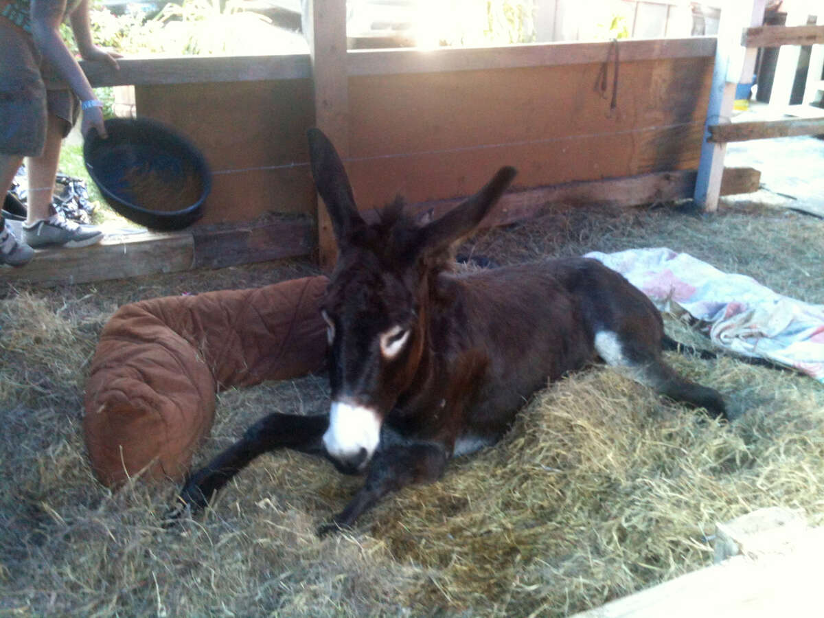 Susie Q, a pet donkey injured in a dragging incident, recovers in a new pen in New Caney Wednesday, Oct. 31, 2012.