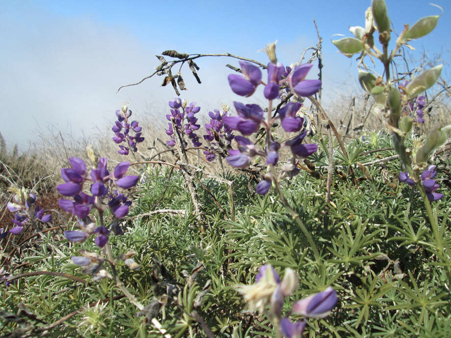 Even in November, you can find blooming lupine and other wildflowers (Tom Stienstra/The Chronicle)
