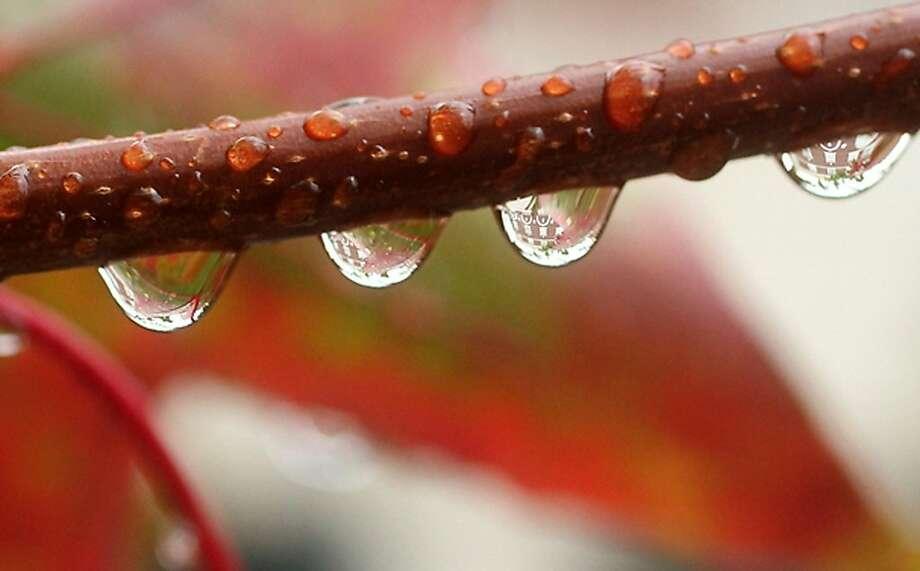 Wet Washington: Raindrops drip from a tree limb in downtown Bremerton. Photo: Meegan M. Reid, Associated Press