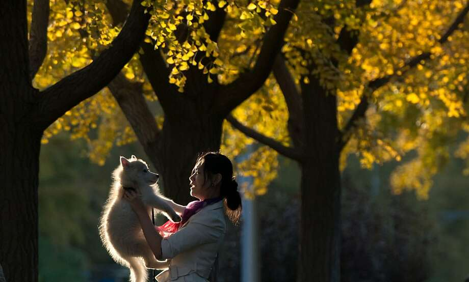 A woman plays with her dog under a canopy of golden leaves in Beijing. Autumn typically ends in November in the city with the arrival of dry weather and subfreezing temperatures. Photo: Ed Jones, AFP/Getty Images