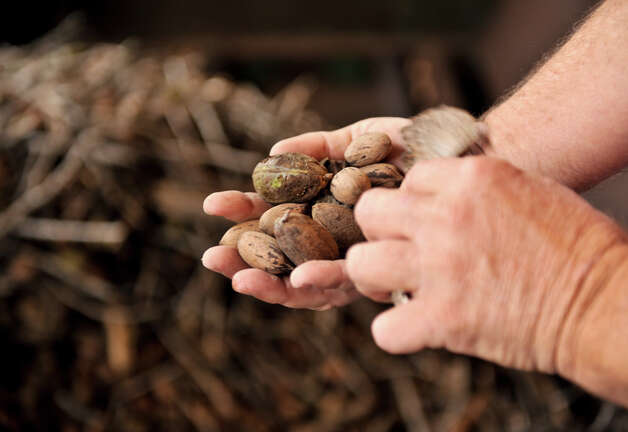 Gary Schmidtke of South Country Pecans holds some of this year's harvest. Photo: Robin Jerstad/For The Express-Ne