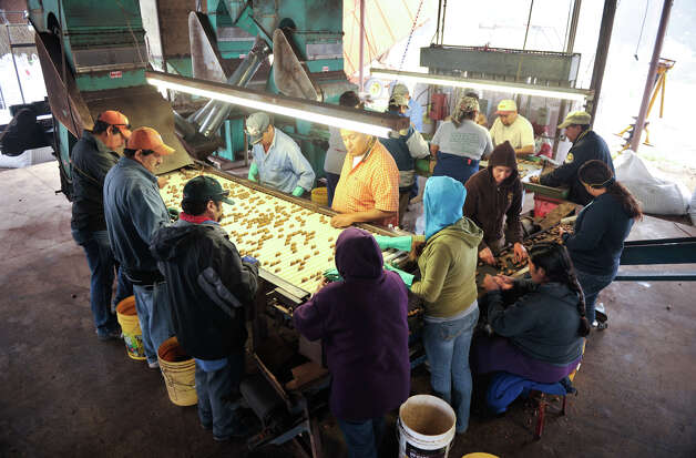 Workers at South Country Pecans sort through the nuts to ensure that they are clean. Photo: Robin Jerstad/For The Express-Ne