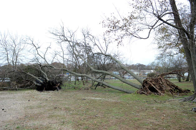 Uprooted trees at Cove Island Beach in Stamford on Thursday, Nov. 1, 2012. Photo: Amy Mortensen / Stamford Advocate Freelance