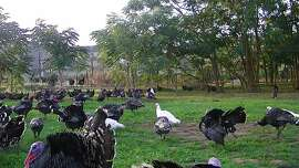 Narragansett heritage turkeys at Pitman Farms in in the Central Valley, sold under the label of Mary's Free Range Heritage Turkey