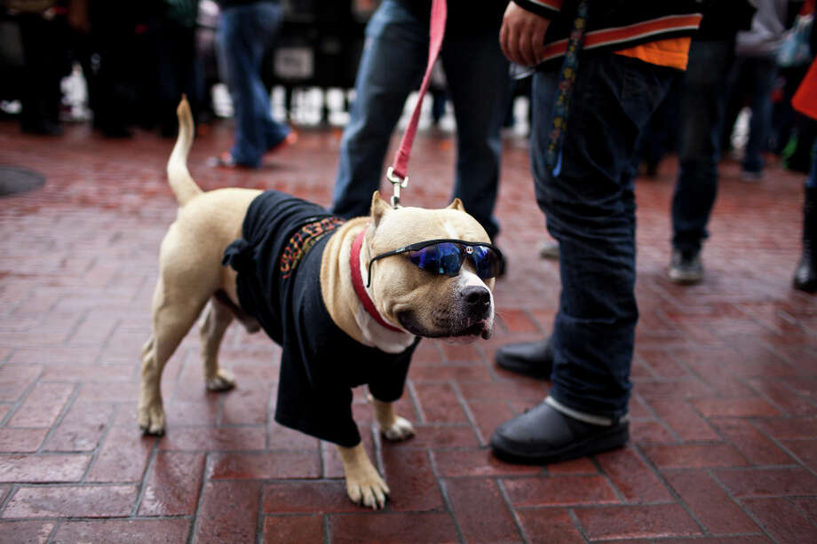 Bronx, a 14-month American Bully, wore shades and a t-shirt to the parade. Photo: Jason Henry, Special To The Chronicle / ONLINE_YES