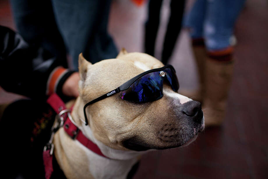 Bronx looked smooth in his shades. Photo: Jason Henry, Special To The Chronicle / ONLINE_YES