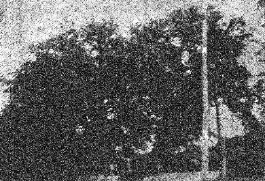 Suicide OakCorner of Patterson Avenue and Torcido Drive in Alamo HeightsLegends say a girl hung herself from the tree, located at Patterson and Torcido Drive (and seen here in the San Antonio Light in 1911), after a fight ended her relationship with a motorman on the Alamo Heights streetcar line. The tree has long since toppled, and the legend proven untrue, but it persists to this day. Photo: San Antonio Light File Photo