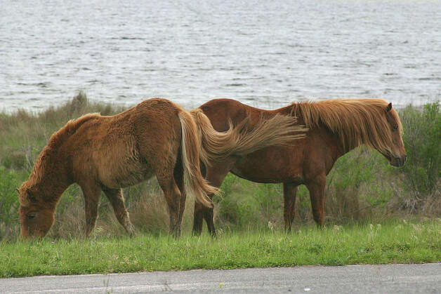 MARYLAND: The ponies of Assateague Island near Ocean City roam free, are kept in check with horse birth control and probably came from domestic ancestors. Once a year, some of the feral horses are rounded up for sale.  barb howe/Flickr Creative Commons