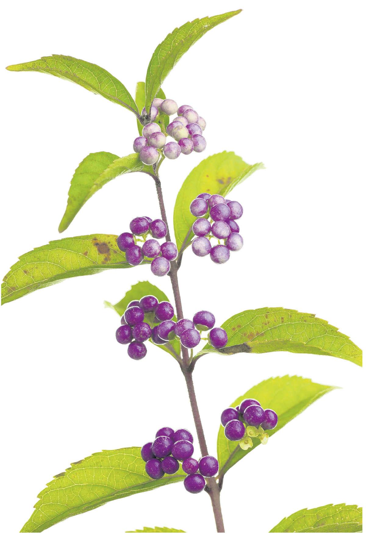 Beautyberry bush (Fotolia.com)
