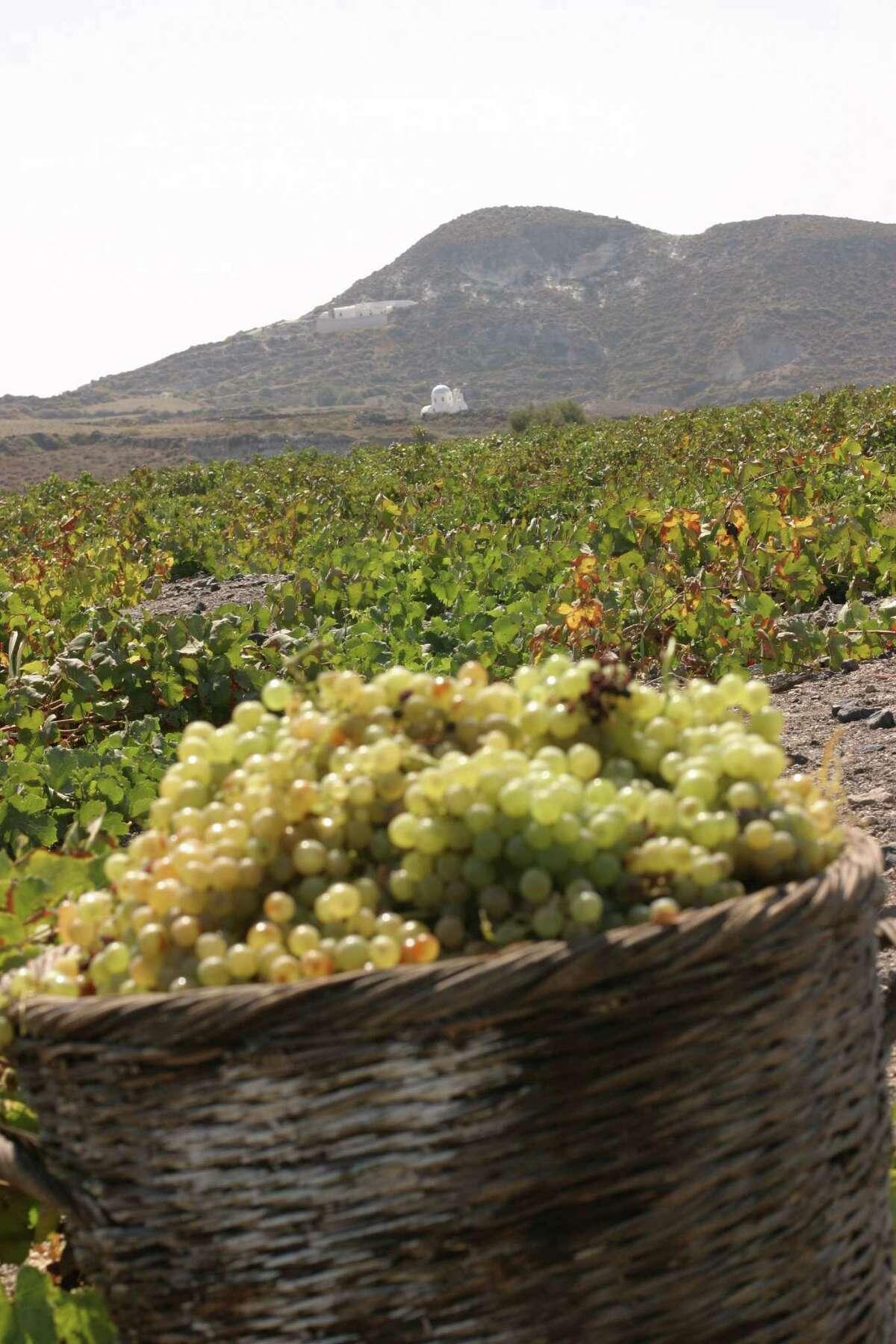 Santorini Vineyard grapes. Boutari Vineyards vines on the Greek island of Santorini are grown in a nest.