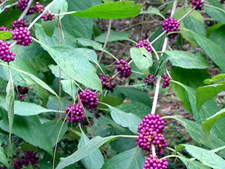 The American Beautyberry in full fall color.