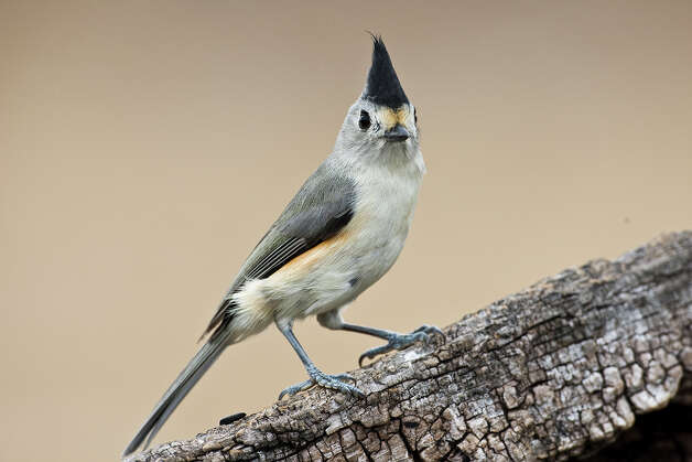Lost Maples State natural Area has colorful big tooth maple leaves, butterflies, and birds, like this black-crested titmouse, this fall.  Photo Credit:  Kathy Adams Clark.  Restricted use. Photo: Kathy Adams Clark / KAC Productions