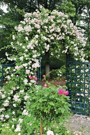 'New Dawn' smothers an arbor creating an inviting garden entry. Photo: Photos By Mike Shoup, Antique Rose Emporium