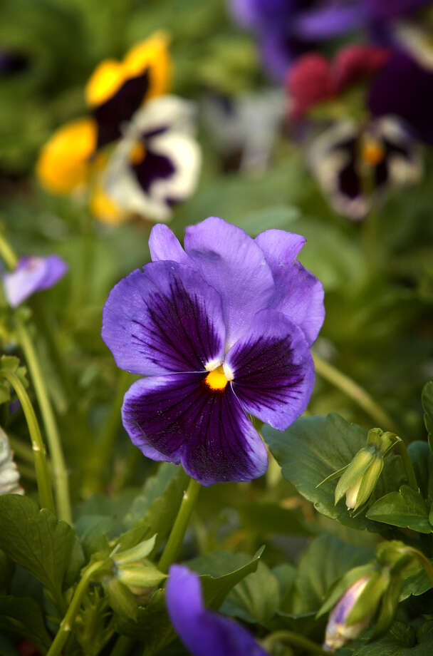 Pansies provide color in a flower bed in cool weather. Photo: Express-News File Photo / SAN ANTONIO EXPRESS-NEWS