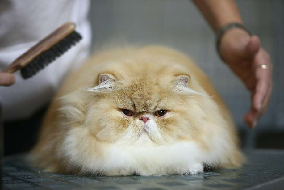 Harrumph! Last-minute brushing poofs a petulant Persian before the cat judging at a pet fair in Berlin. Photo: Sean Gallup, Getty Images