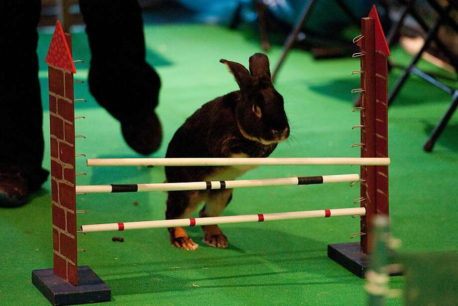 This Thumper's no jumper:  A halfhearted leap knocks over a bar of an obstacle during a jumping competition at a pet fair in Berlin. Photo: Robert Schlesinger, AFP/Getty Images