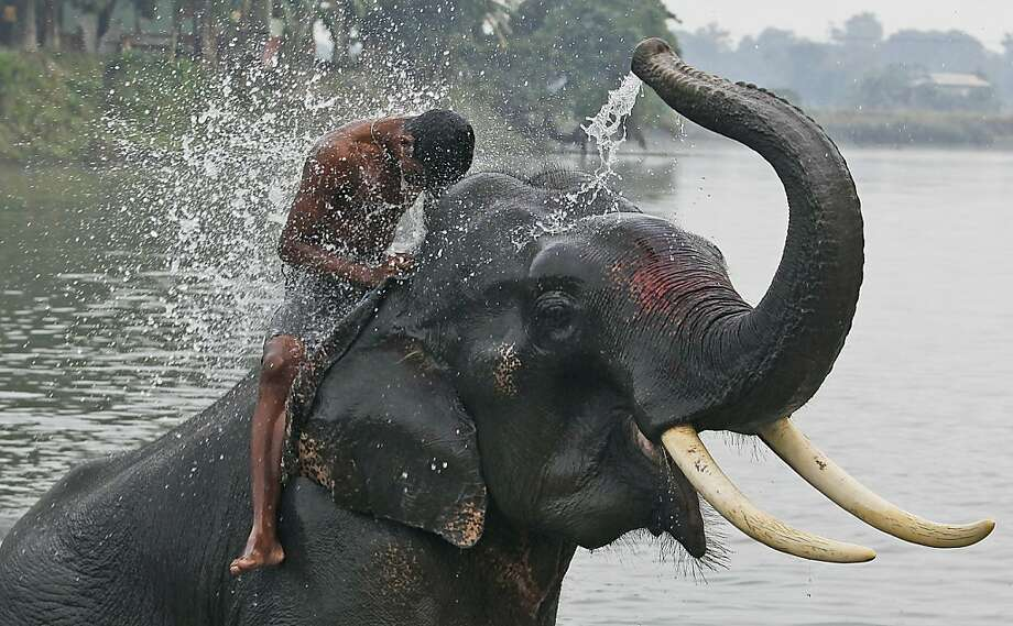 By the way, you smell a bit ripe, so ...A elephant hoses down his mahout, or handler, before the pair begin ferrying tourists on safari rides in Gauhati, India. Photo: Anupam Nath, Associated Press