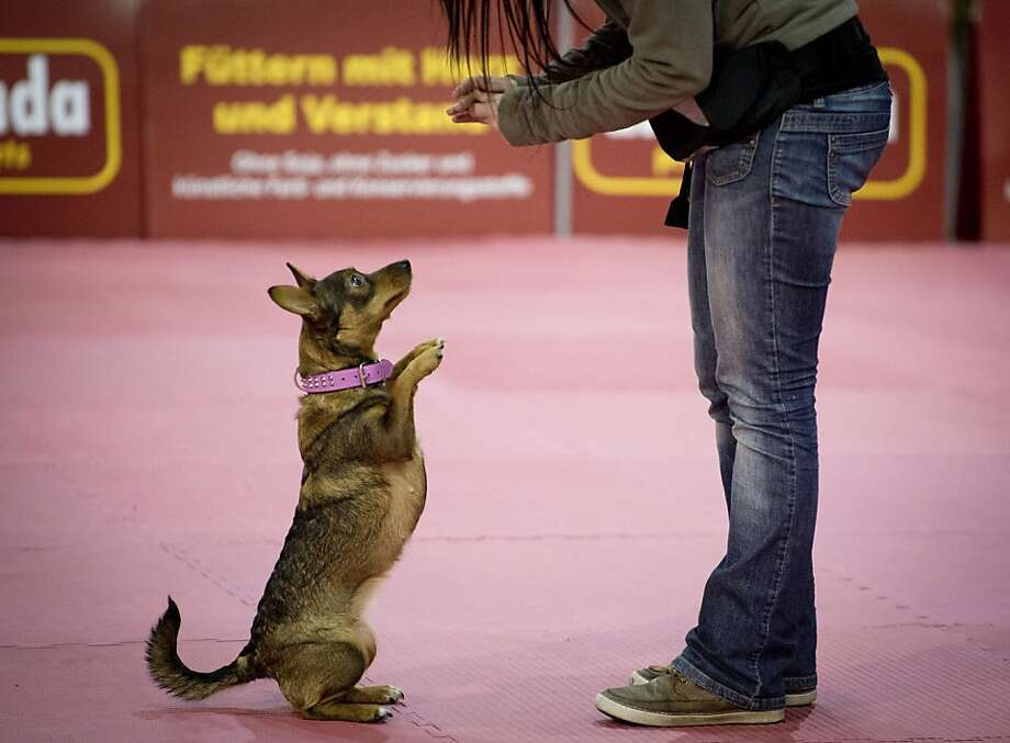 OK, now Gangnam style:A pink-collared pooch dances on command at a pet fair, Berlin. Photo: Odd Andersen, AFP/Getty Images