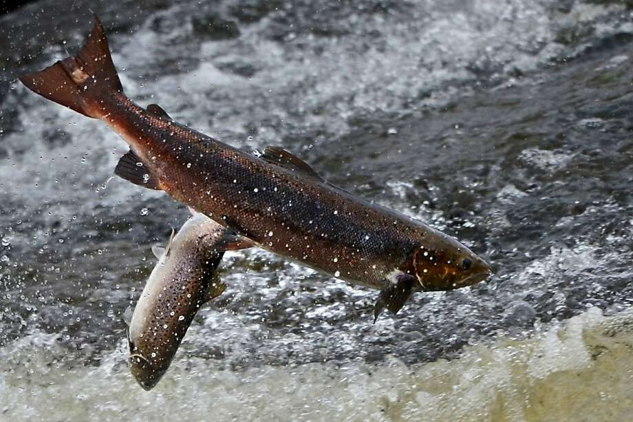Can't wait 'til we get to spawn and die: Battling a swift current, salmon attempt to leap up a fish ladder in the River Etterick in Selkirk, Scotland. Photo: Jeff J Mitchell, Getty Images