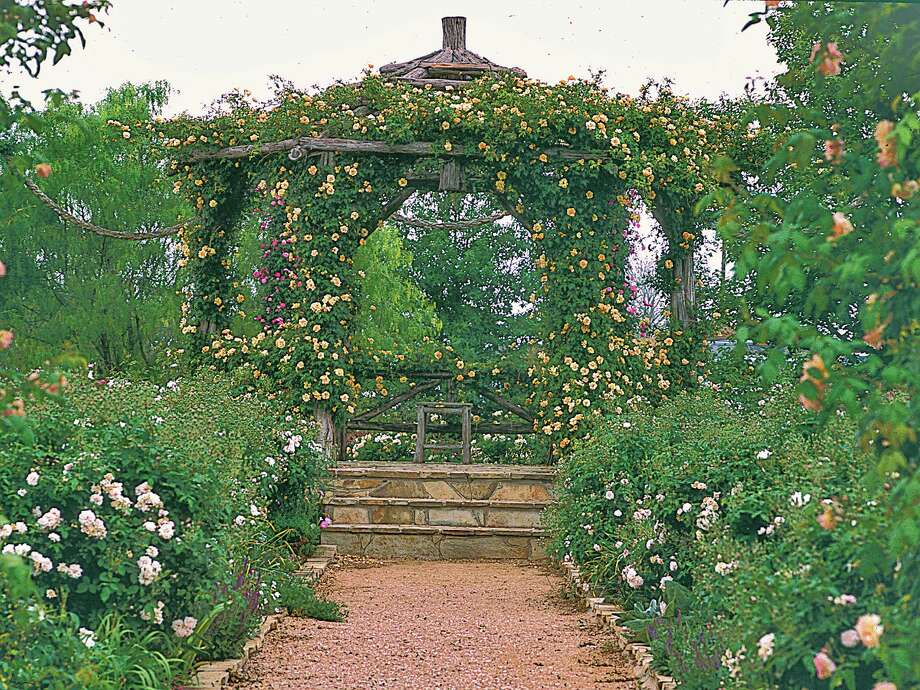 'Crepuscule'  takes center stage on a garden gazebo.