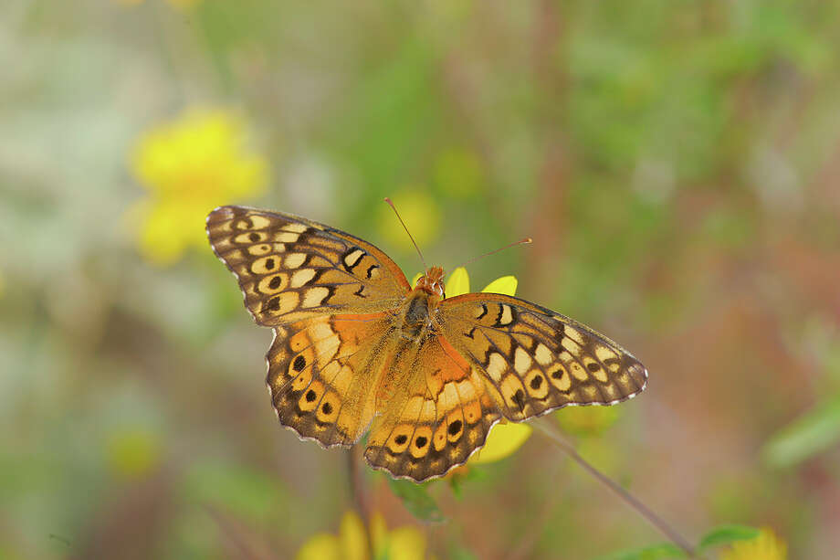 Fall brings the variegated fritillary to Lost Maples State Natural Area. Photo: Kathy Adams Clark / KAC Productions