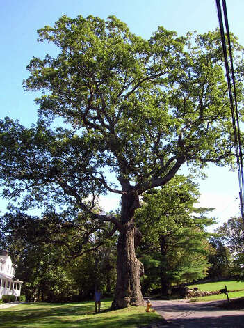 The old oak tree that stood for hundreds of years in Shelton. The tree was destroyed by wind gusts Monday night. Photo: Contributed Photo / Connecticut Post Contributed