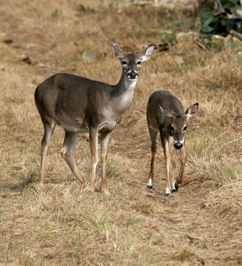 WELCOMED WINTER WETNESS - Recent rain in much of drought-withered South Texas will trigger a spurt of forb production, greatly help deer such as this doe and her buck fawn. Photo: Shannon Tompkins, Doe And Yearling