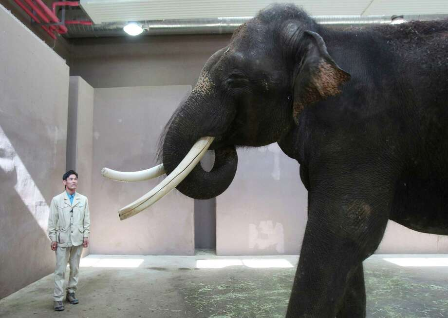 Kosik, a 22-year-old Asian elephant, puts his trunk in his mouth to modulate sound next to his chief trainer Kim Jong-gab at the Everland amusement park in Yongin, South Korea, Friday, Nov. 2, 2012. Kosik uses his trunk to pick up not only food but also human vocabulary. He can reproduce five Korean words by tucking his trunk inside his mouth to modulate sound. (AP Photo/Ahn Young-joon) Photo: Ahn Young-joon, STF / AP