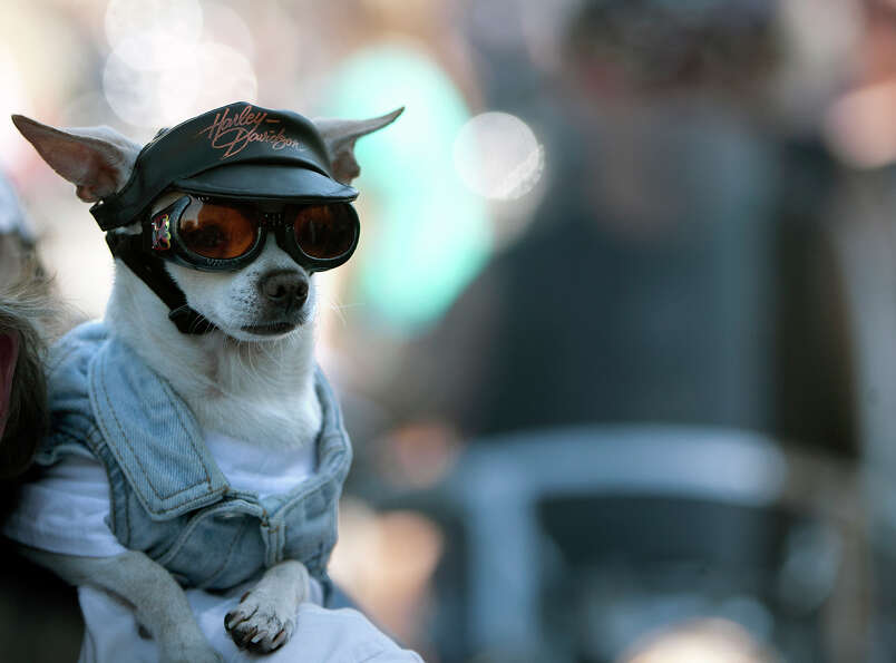 Chico rides on his owner's shoulder during the Lone Star Rally Saturday, Nov. 3, 2012, in Galveston.