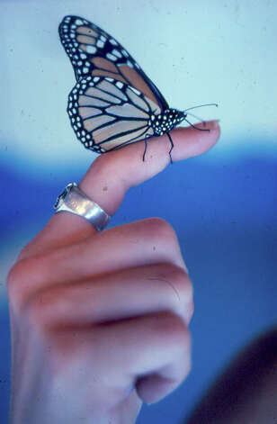 A monarch butterfly Maraleen Manos-Jones is bringing to San Antonio is seen in an undated courtesy photo provided by Manos-Jones.