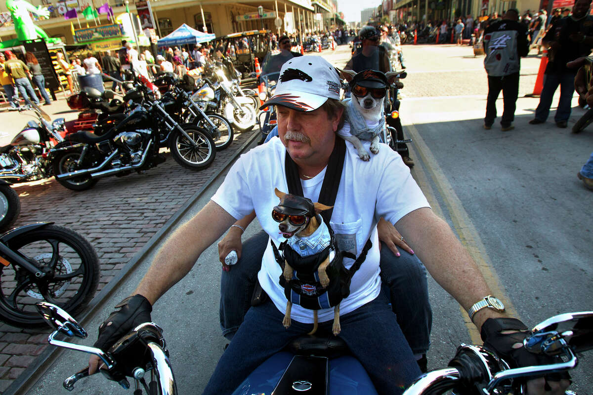 """Pasadena residents Walter Ward and his wife, Norma, back not pictured, ride with their Chihuahuas, Charlie, front, and Chico, back, during the Lone Star Rally Saturday, Nov. 3, 2012, in Galveston. """"They are always on a motorcycle,"""" Norma said. """"Anytime they get a chance they're on one."""" The Rally featured different events including a free concert by Bret Michaels, different bike shows and some of the world's top bike builders along with a guest appearance from Charlie """"Jax"""" Hunnam from the hit show """"Sons of Anarchy."""""""