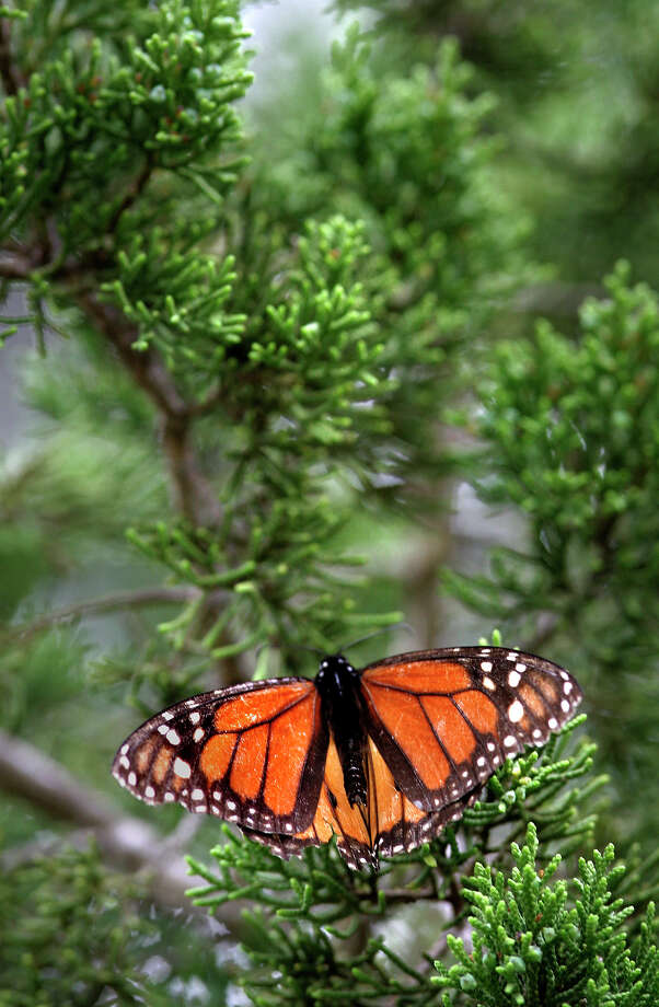 A Monarch butterfly dries its wings while resting in a cedar tree along Schneider Lane in Garden Ridge on March 23, 2007. Photo: Bob Owen, San Antonio Express-News / San Antonio Express-News