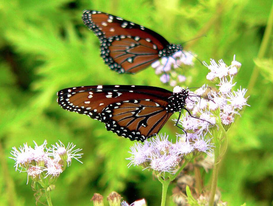 Monarch butterflies abound in the butterfly theater at Schreiner State Park in Kerrville. Photo: Billy Calzada, San Antonio Express-News / SAN ANTONIO EXPRESS-NEWS