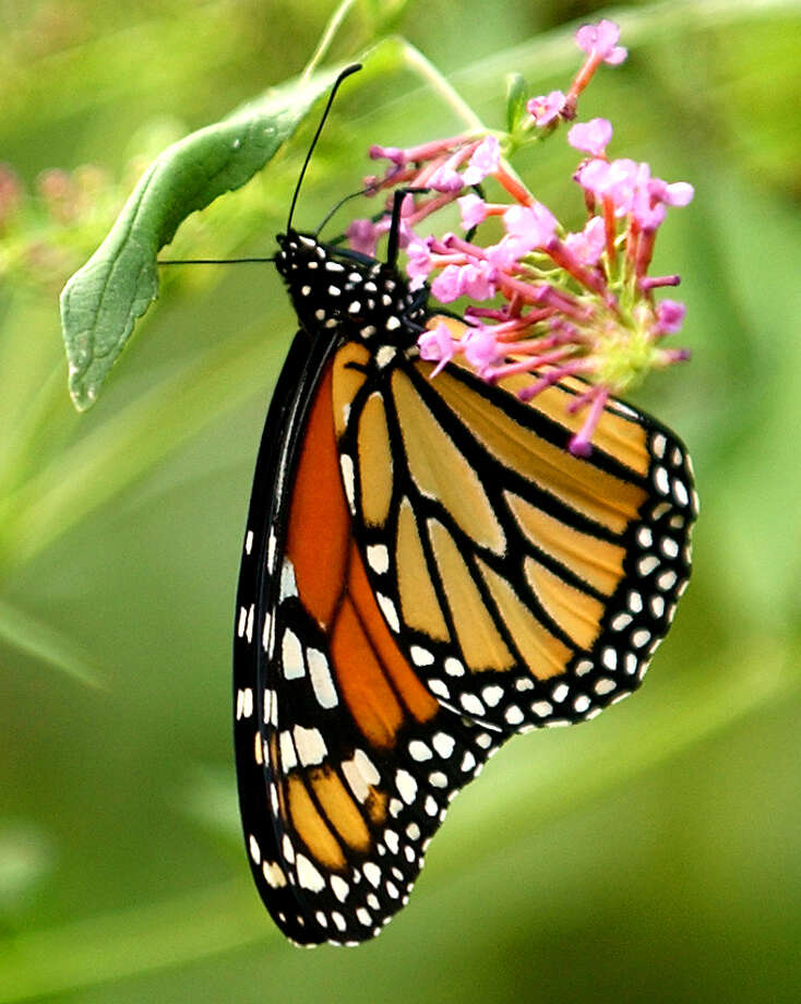 A Monarch butterfly rests on plants at the San Antonio Zoo on Oct. 29, 2003. Photo: William Luther, San Antonio Express-News / SAN ANTONIO EXPRESS-NEWS