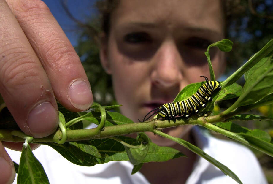 Kristin Duncan, 16, a junior at Texas Military Institute, looks over the larvae of a Monarch butterfly on Sept. 24, 2001, during a class there that tracks the creatures as they move through the San Antonio area. Photo: John Davenport, San Antonio Express-News / SAN ANTONIO EXPRESS-NEWS