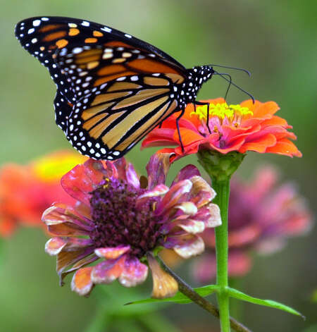 Monarch butterflies travel through San Antonio and the surrounding area each fall on their annual migration to Mexico, although in recent years, their numbers have dwindled. Here's a look at the butterflies' previous migrations.A Monarch butterfly rests on a flower at the San Antonio Botanical Gardens on Oct. 20, 2000. Photo: William Luther, San Antonio Express-News / SAN ANTONIO EXPRESS-NEWS