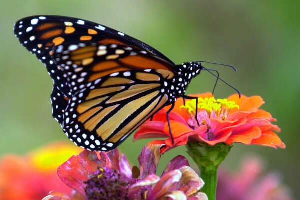 A Monarch butterfly rests on a flower at the San Antonio Botanical Gardens on Oct. 20, 2000.