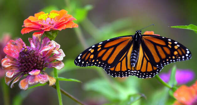 A Monarch butterfly rests on a flower at the San Antonio Botanical Gardens on Oct. 20, 2000. Photo: William Luther, San Antonio Express-News / SAN ANTONIO EXPRESS-NEWS