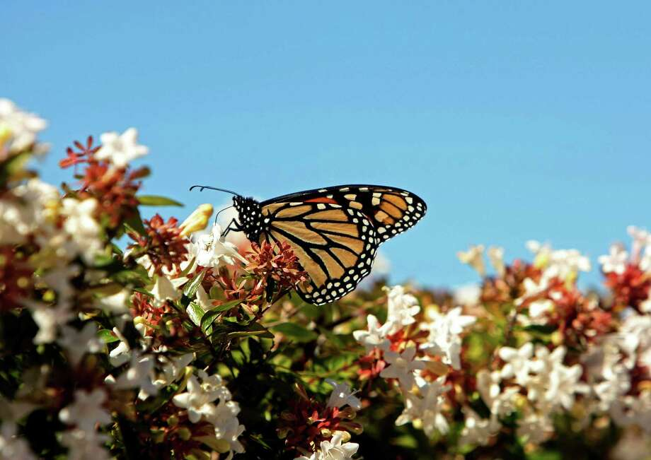 A Monarch butterfly pollenates an abelia bush near the San Antonio International Airport on Oct. 20, 2011. Photo: Helen L. Montoya, San Antonio Express-News / SAN ANTONIO EXPRESS-NEWS