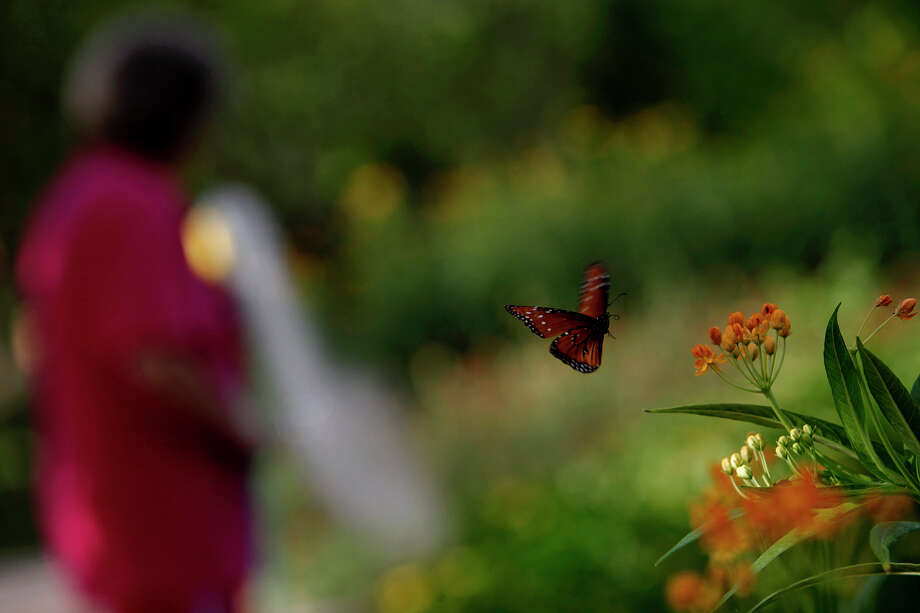 Monarch butterflies dance around display beds filled with canna leaves and milkweed while Cathy Lopez, a first day volunteer with Team WaterSaver, waters the beds at the San Antonio Botanical Garden on July 10, 2009. Photo: Lisa Krantz, San Antonio Express-News / lkrantz@express-news.net