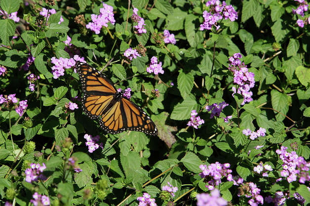 A released Monarch butterfly feeds on nectar from the flowers of a lantana bush at the Wildseed Farms near Fredericksburg on Oct. 19, 2008. Photo: Jerry Lara, San Antonio Express-News / glara@express-news.net