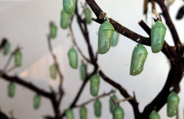Monarch butterfly chrysalises are glued to a branch for hatching at the Wildseed Farms near Fredericksburg on Oct. 19, 2008. Photo: Jerry Lara, San Antonio Express-News / glara@express-news.net