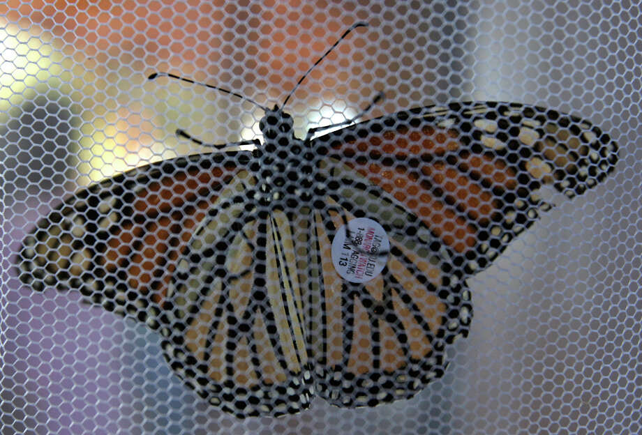 With after being tagged, a Monarch butterfly waits to be released during the Monarch Celebration at the Wildseed Farms near Fredericksburg on Oct. 19, 2008. Photo: Jerry Lara, San Antonio Express-News / glara@express-news.net
