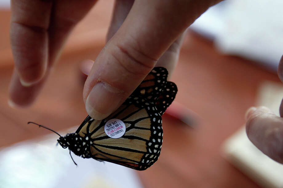 A Monarch butterfly is tagged during the Wildseed Farms tag and release on Oct. 19, 2008 near Fredericksburg. Photo: Jerry Lara, San Antonio Express-News / glara@express-news.net