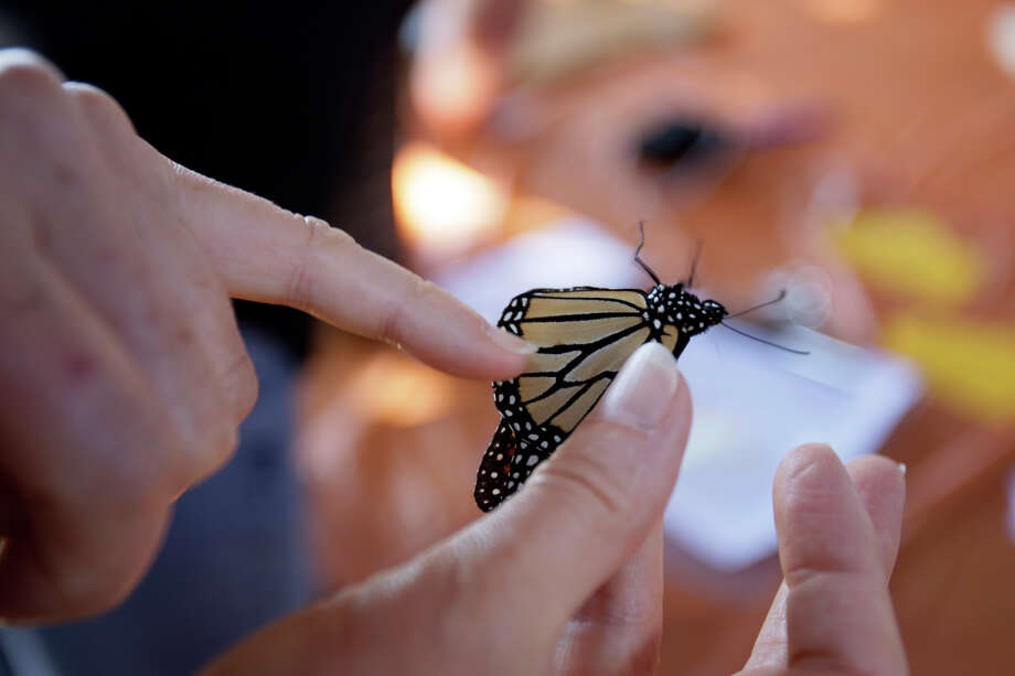 A bulge on one of the Monarch butterfly's lines indicates a male at Wildseed Farms in Fredericksburg on Oct. 19, 2008. The tag and release of the butterflies is part of the farm's annual Monarch Celebration. Photo: Jerry Lara, San Antonio Express-News / glara@express-news.net