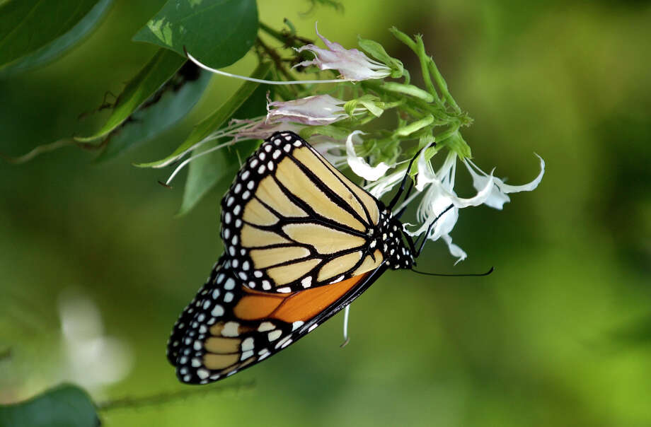 A Monarch butterfly is seen at the San Antonio Botanical Gardens on Oct. 18, 2007. Photo: Helen L. Montoya, San Antonio Express-News / SAN ANTONIO EXPRESS-NEWS