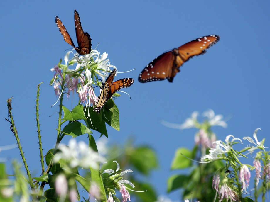 Monarch butterflies are seen at the San Antonio Botanical Gardens on Oct. 18, 2007. Photo: Helen L. Montoya, San Antonio Express-News / SAN ANTONIO EXPRESS-NEWS